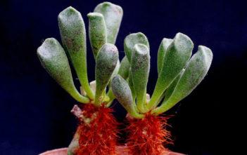 Adromischus cristatus var. schonlandii