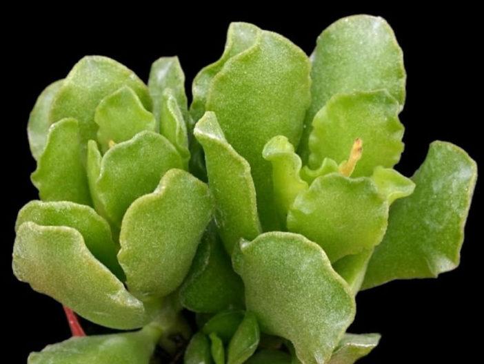 Adromischus cristatus var. zeyheri