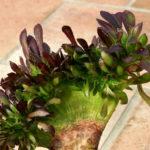 Aeonium arboreum var. atropurpureum f. cristatum - Crested Purple Rose