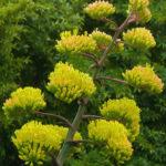 Agave parryi var. huachucensis - Huachuca Agave