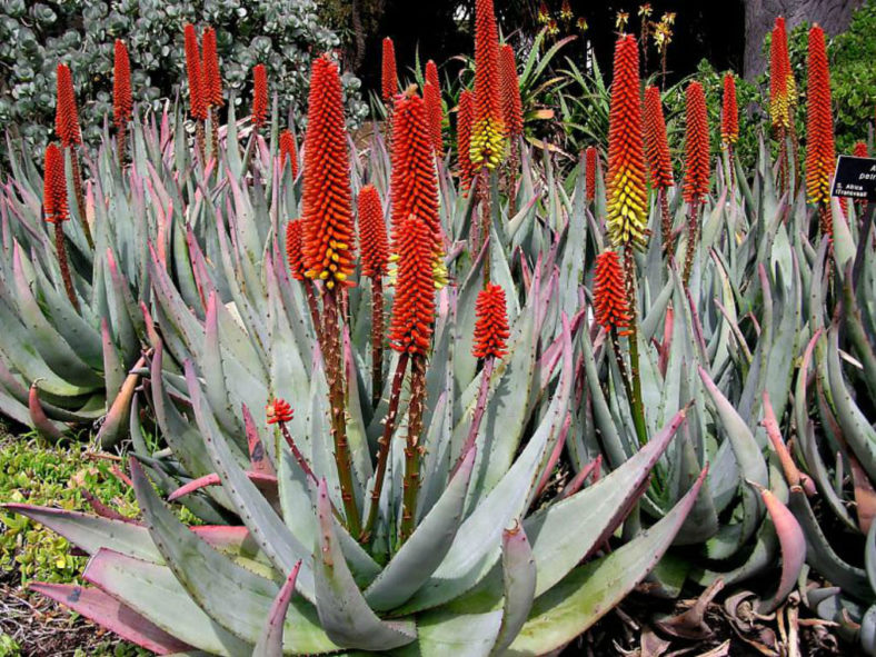 Aloe petricola - Stone Aloe