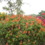 Aloiampelos ciliaris (Climbing Aloe)
