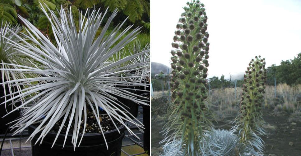 Argyroxiphium Sandwicense Hawai I Silversword World Of