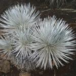 Argyroxiphium sandwicense - Hawai'i Silversword
