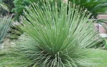 Dasylirion acrotrichum - Great Desert Spoon