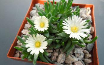 Delosperma basuticum 'White Nugget' - White Nugget Ice Plant