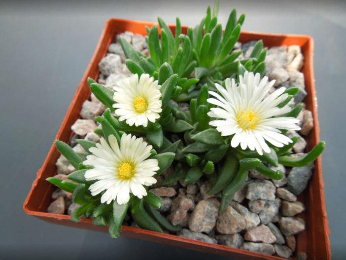 Delosperma basuticum 'White Nugget' (White Nugget Ice Plant)
