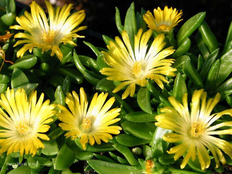 Delosperma basuticum - White-eyed Ice Plant