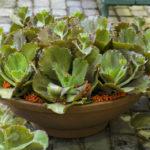 Echeveria crenulata