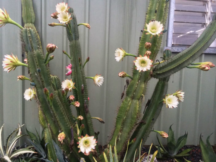 Growing Columnar Cacti from Cuttings (Cereus repandus)
