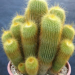 Parodia leninghausii - Yellow Tower