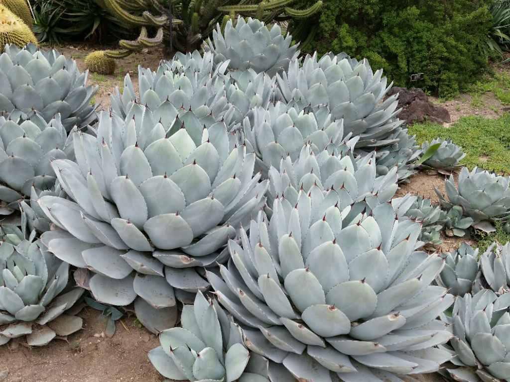 Parry S Agave Succulent With Unrivaled Sculptural Beauty World