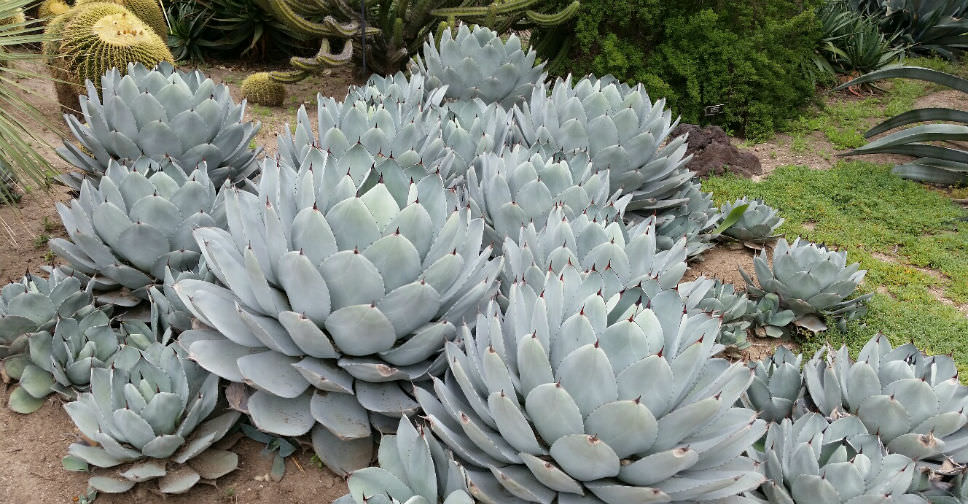 Parry S Agave Succulent With Unrivaled Sculptural Beauty