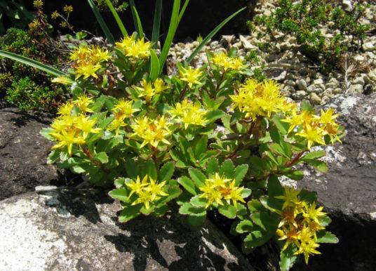 Phedimus aizoon var. floribundus – Aizoon Stonecrop