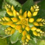 Phedimus aizoon var. floribundus - Aizoon Stonecrop