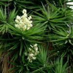 Yucca gigantea - Spineless Yucca
