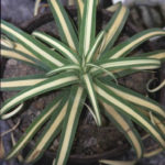 Agave bracteosa 'Mediopicta Alba' (Candelabrum Agave)