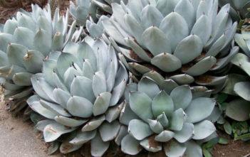 Agave parryi var. truncata - Artichoke Agave