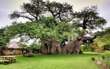 Baobab (Africa's Tree of Life)