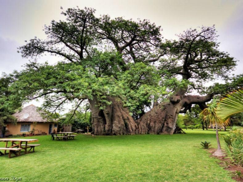 Baobab (Africa's Tree of Life)