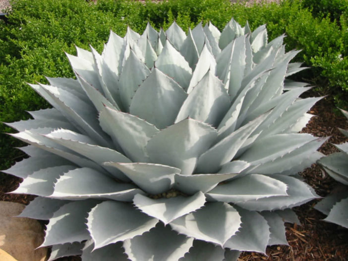 Cold-Hardy Succulents (Agave ovatifolia)