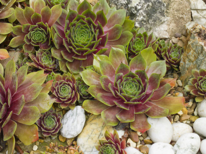 Cold-Hardy Succulents (Sempervivum)