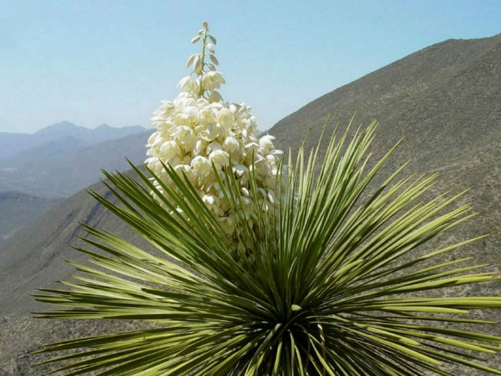 Cold-Hardy Succulents (Yucca thompsoniana)