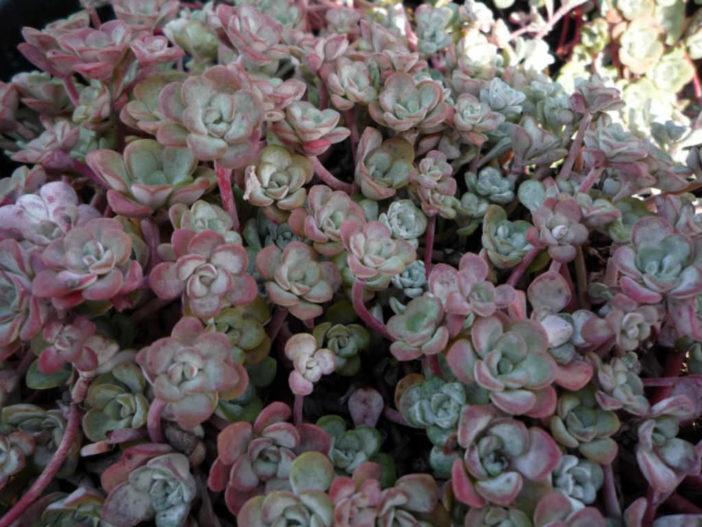 Cold-Hardy Succulents (Sedum spathulifolium)