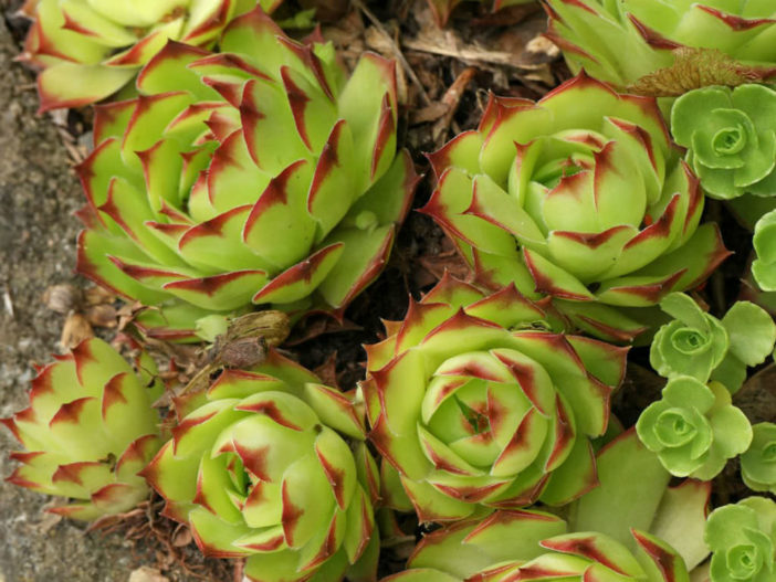 Colorful Succulents Plants (Sempervivum tectorum 'Royanum')