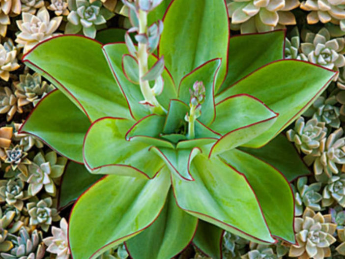 Colorful Succulents Plants (Echeveria subrigida 'Fire and Ice')
