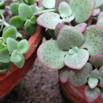 Crassula cordata - Heart-leaved Crassula