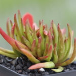 Crassula nudicaulis 'Devil's Horns'