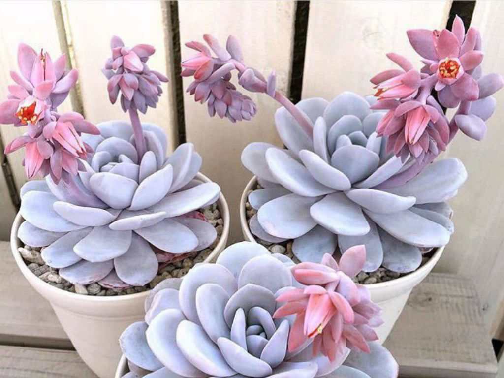 Echeveria laui world of succulents - Fotos pinterest ...