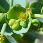 Euphorbia paralias - Sea Spurge