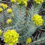 Euphorbia rigida - Upright Myrtle Spurge
