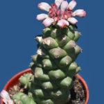 Euphorbia ritchiei subsp. nyambensis