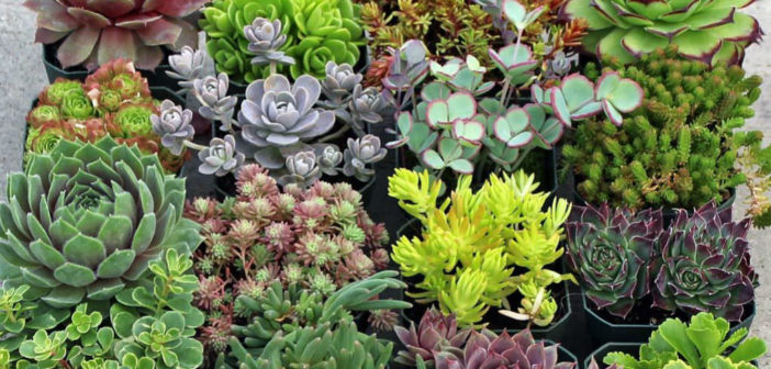 Details about  /Sempervivum Purpurkranz cold hardy succulent plant