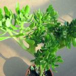 Sedum praealtum f. cristata - Shrubby Stonecrop