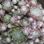 Sempervivum arachnoideum 'Rubrum' - Red Cobweb Houseleek