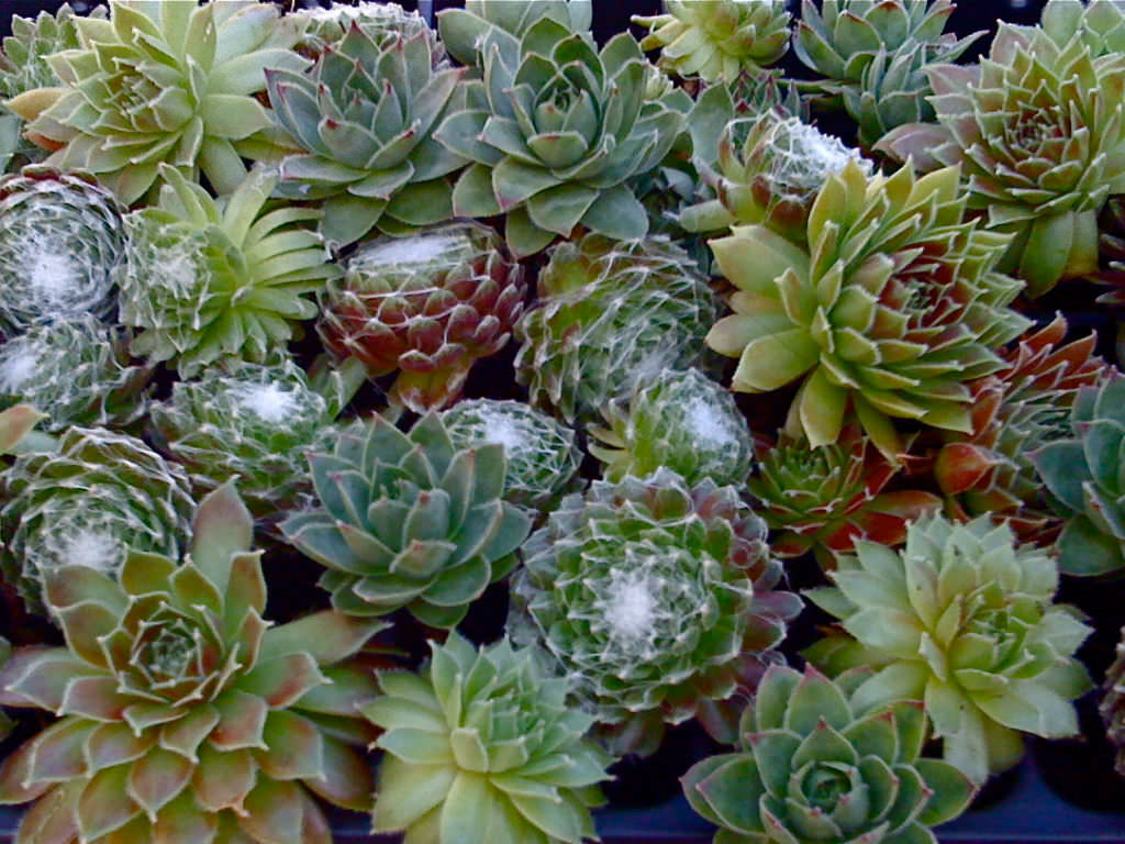 Tips To Protect Sempervivum In Winter World Of Succulents