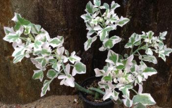 Senecio articulatus 'Variegatus' - Variegated Candle Plant