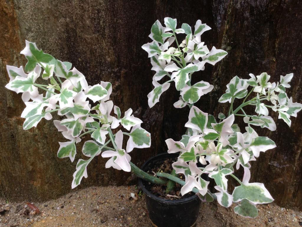 Curio articulatus 'Candlelight' (Variegated Candle Plant) aka Senecio articulatus 'Candlelight'