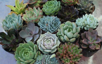 Tender Succulents (Soft Succulents)