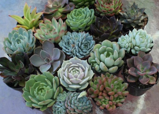 What are Tender Succulents (Soft Succulents)?