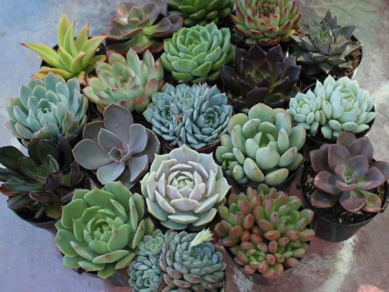 Tender Succulents (Soft Succulents)