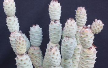 Tephrocactus articulatus var. inermis - Pine Cone Cactus