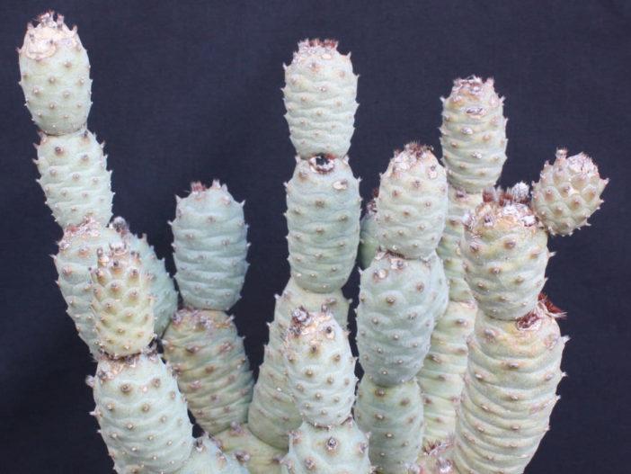 Tephrocactus articulatus var. inermis (Pine Cone Cactus)