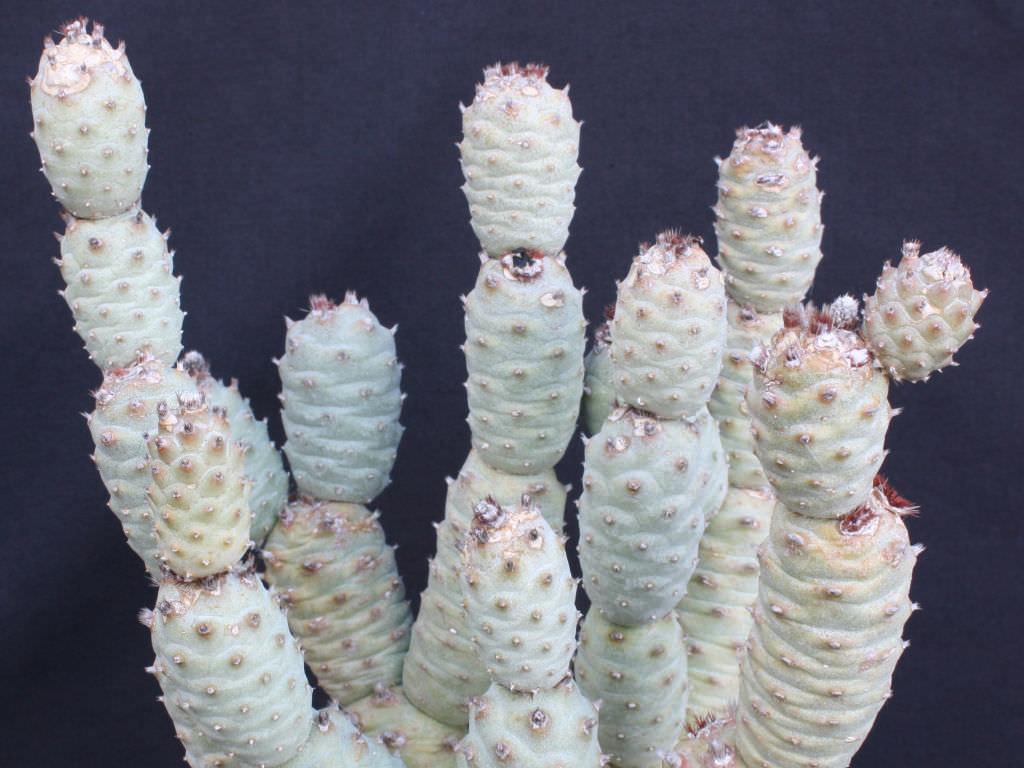 Tephrocactus Articulatus Var Inermis Pine Cone Cactus
