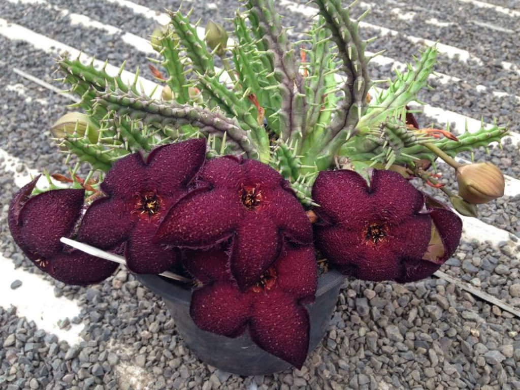Tridentea gemmiflora - Black Carrion Flower