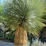 Yucca thompsoniana - Thompson's Yucca